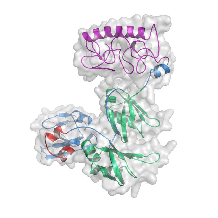 Estrutura tridimensional da proteína TDP-43, determinada no projeto por simulação de dinâmica molecular (Foto: Laboratório de Bioinformática)