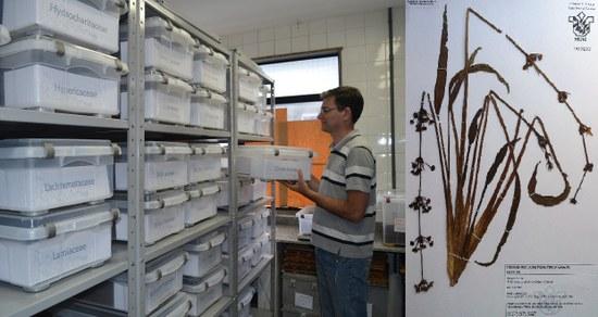Á esquerda, o curador Joel Campos de Paula, entre as coleções do Herbário; à direita, uma das amostras depositadas na unidade (Fotos: Comso e divulgação)
