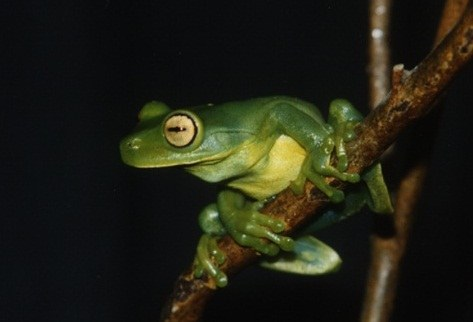 A espécie endêmica Aplastodiscus musicus está desaparecida desde 1995 (Foto: Arquivo do projeto)
