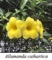 Allamanda cathartica - prancha