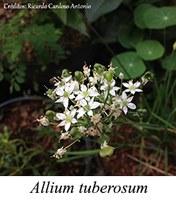 Allium tuberosum - prancha
