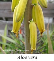 Aloe vera - prancha