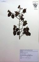 HUNI 656 - Myrtaceae