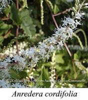 Anredera cordifolia - prancha