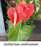 Anthurium andreanum - prancha