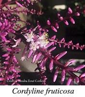 Cordyline fruticosa - prancha