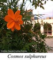 Cosmos sulphureus - prancha