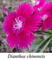 Dianthus chinensis - prancha