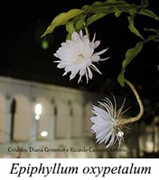 Epiphyllum oxypetalum - prancha