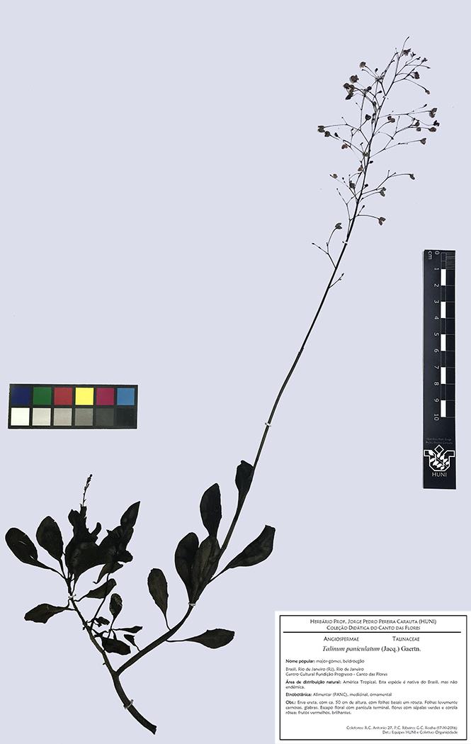Exsicata - Talinum paniculatum