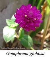 Gomphrena globosa - prancha
