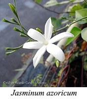 Jasminum azoricum - prancha