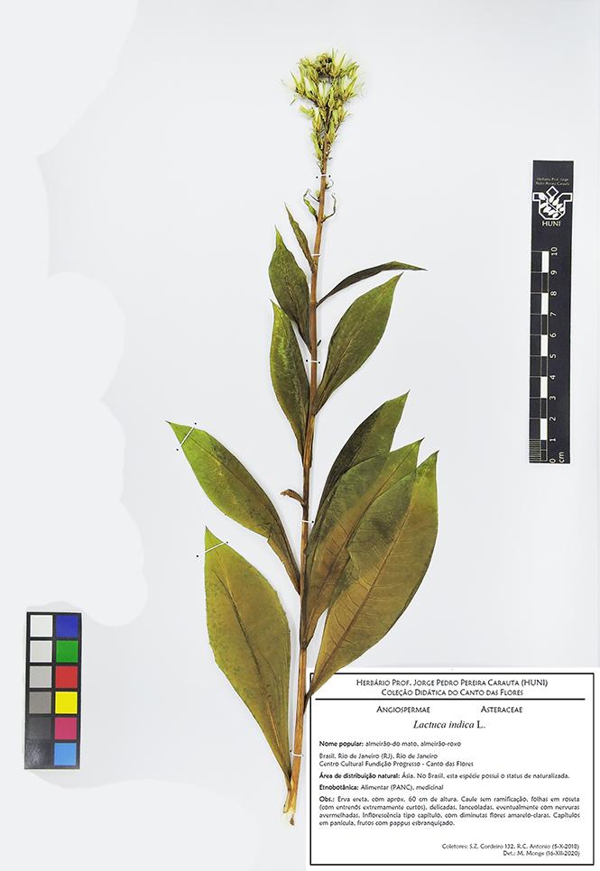 Lactuca indica - Exsicata