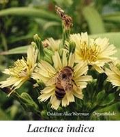 Lactuca indica - prancha