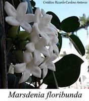Marsdenia floribunda - prancha