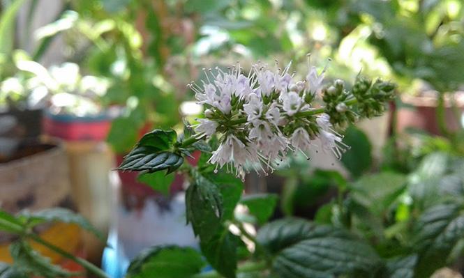 Mentha spicata - Canto das Flores 9
