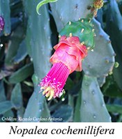 Nopalea cochenillifera - prancha