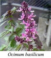 Ocimum basilicum - prancha