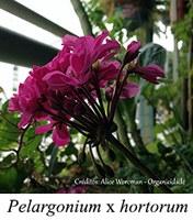 Pelargonium x hortorum - prancha