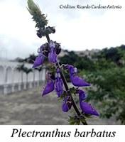 Plectranthus barbatus - prancha