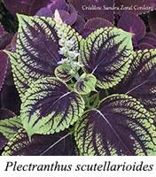 Plectranthus scutellarioides - prancha