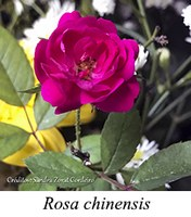 Rosa chinensis - prancha