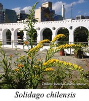 Solidago chilensis - prancha