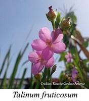 Talinum fruticosum - prancha