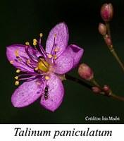 Talinum paniculatum - prancha