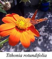 Tithonia rotundifolia - prancha