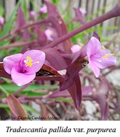 Tradescantia pallida var. purpurea - prancha