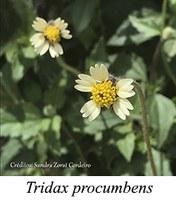 Tridax procumbens - prancha