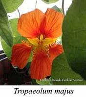 Tropaeolum majus - prancha