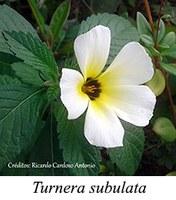Turnera subulata - prancha