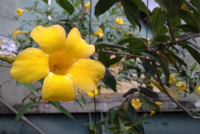 Allamanda cathartica - Canto das Flores 6