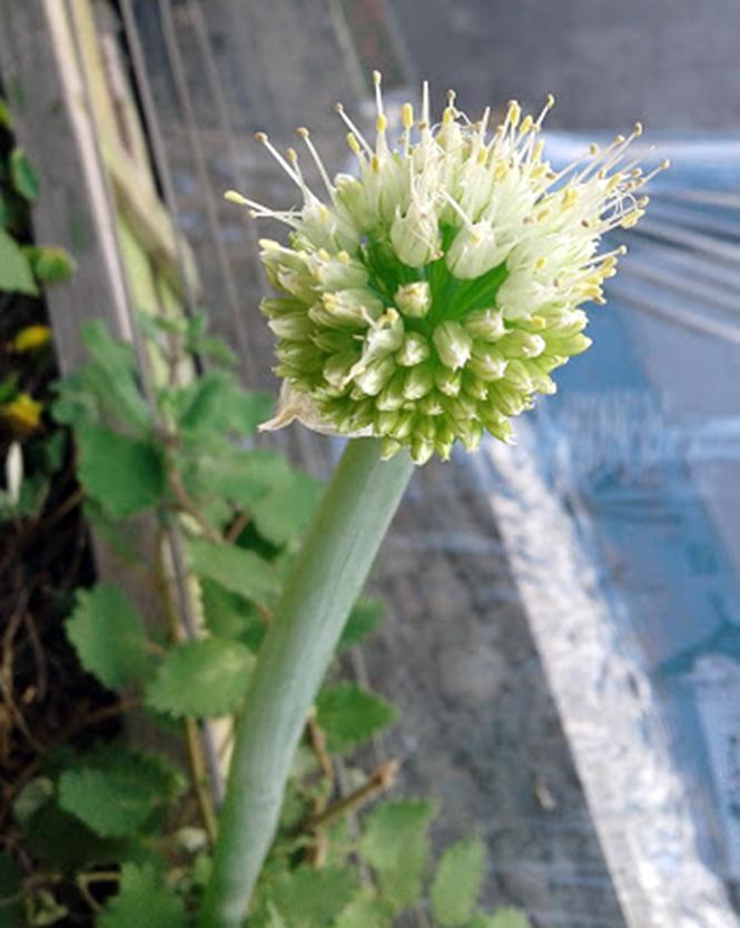 Allium fistulosum - Canto das Flores 2