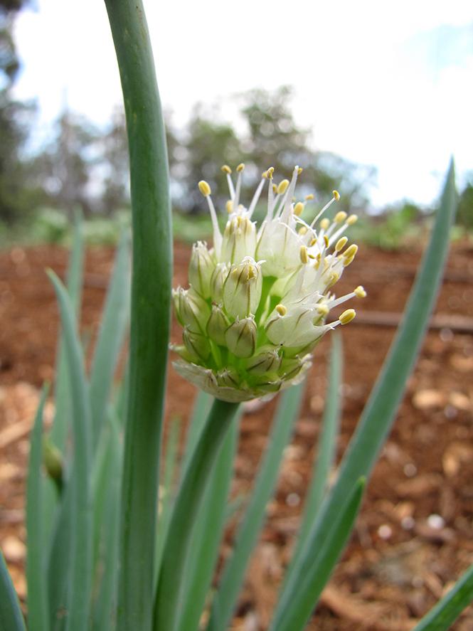 Allium fistulosum - Canto das Flores - Forest e Kim Starr 4