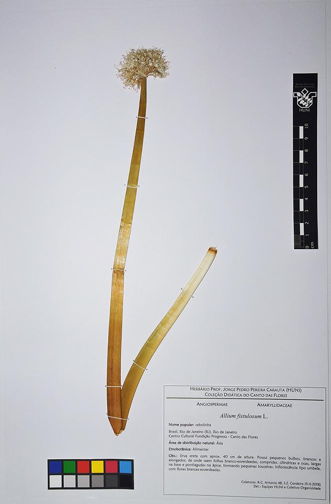 Allium fistulosum - exsicata