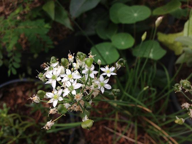 Allium tuberosum - Canto das Flores 10