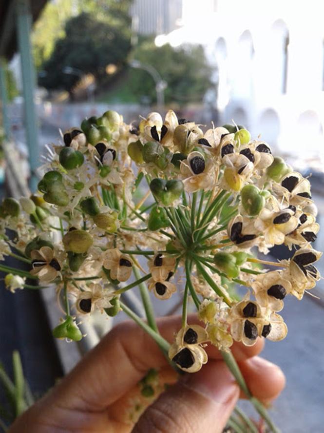 Allium tuberosum - Canto das Flores 3