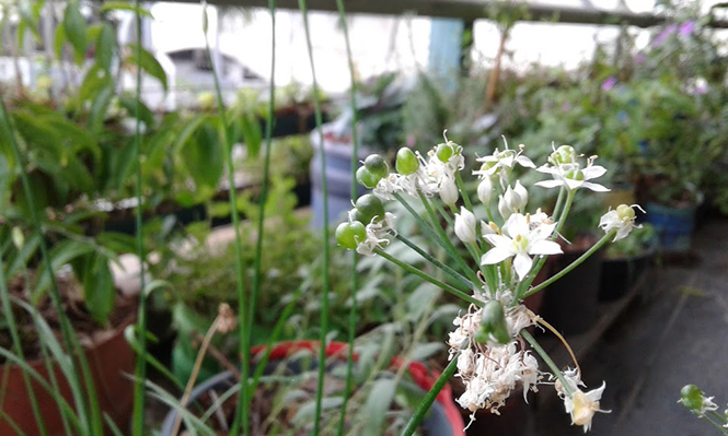 Allium tuberosum - Canto das Flores 8