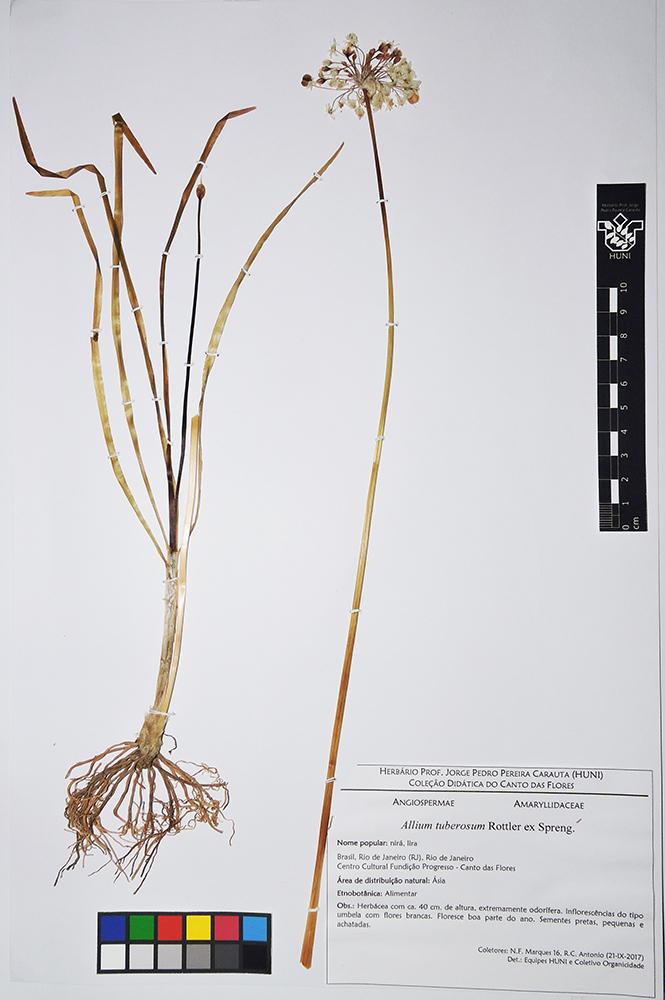 Allium tuberosum - exsicata
