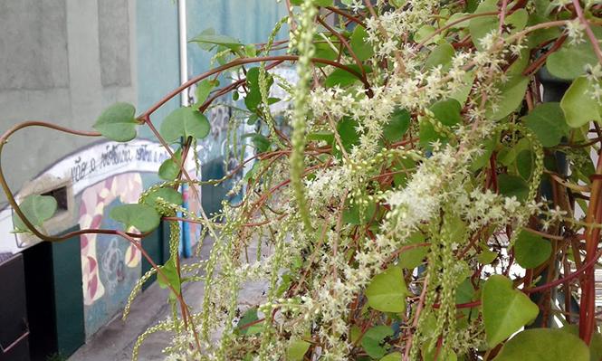 Anredera cordifolia - Canto das Flores 1