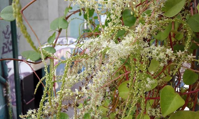Anredera cordifolia - Canto das Flores 2