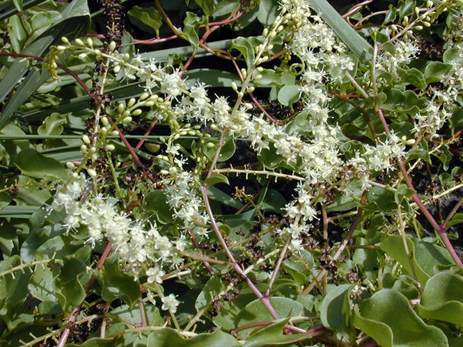 Anredera cordifolia - Canto das Flores 4 - Forest e Kim Starr