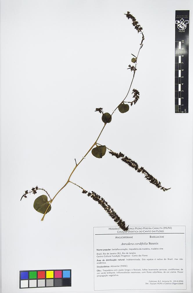 Anredera cordifolia - exsicata