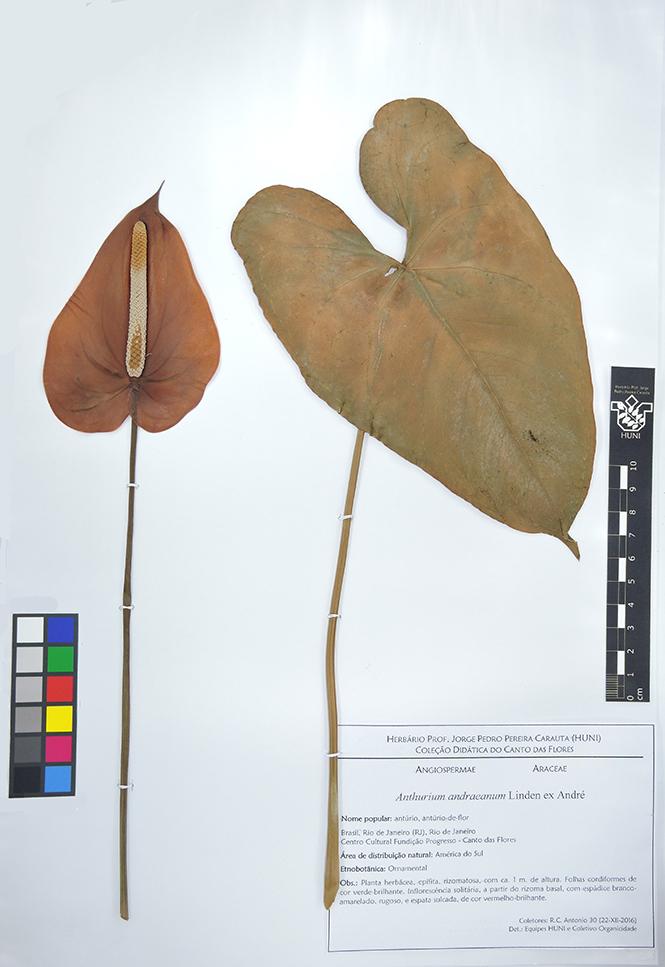 Anthurium andraeanum - exsicata