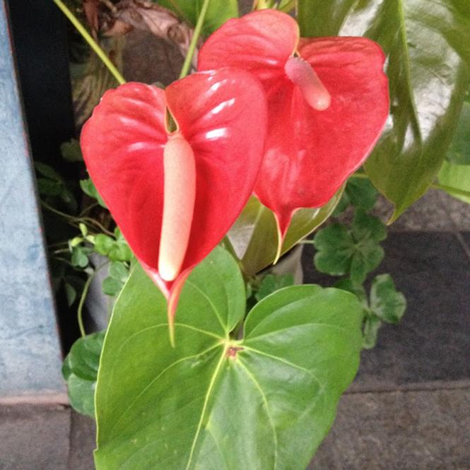 Anthurium andreanum - Canto das Flores 1