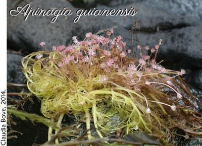 Apinagia guianensis