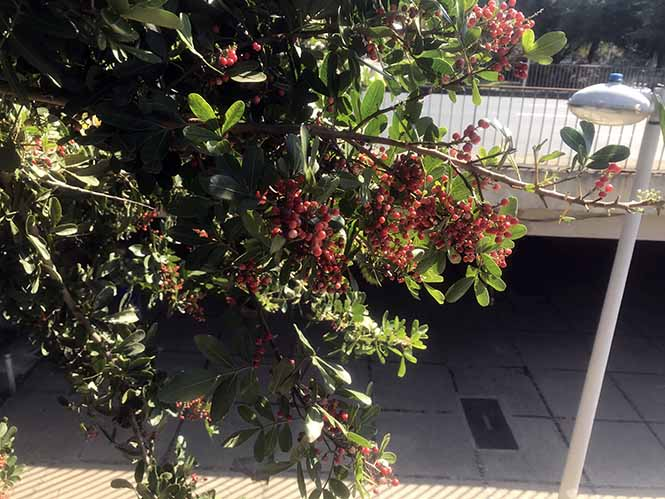 Aroeira - Schinus terebinthifolia - Canto das Flores 1